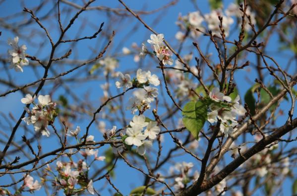 창녕군 대합면에 봄꽃인 '벚꽃'이 만개, 주민들
