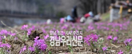 건계정, 분홍물결 '꽃잔디' 조성으로 나들이 명소화