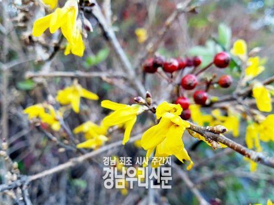 """""""겨울 맞나요?"""" 의령에 봄꽃 개나리 활짝 펴"""