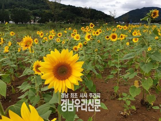 밀양시 「산외면 해바라기 꽃단지」개화 !